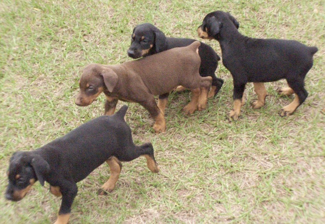 Doberman Pinscher Puppies Dogs For Sale In Albany County