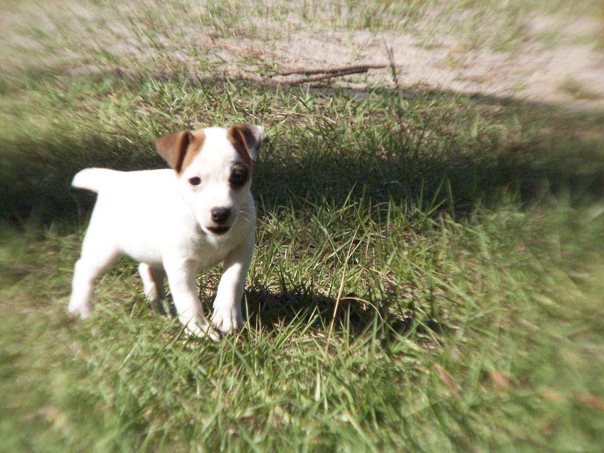 Jack Russell, Puppies, Dogs, For Sale, In Columbia, South ...
