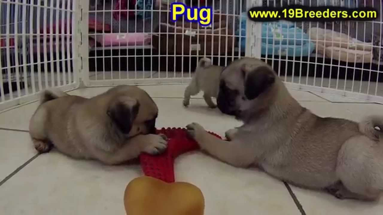 Pug, Puppies, Dogs, For Sale, In Louisville, Kentucky, KY ...