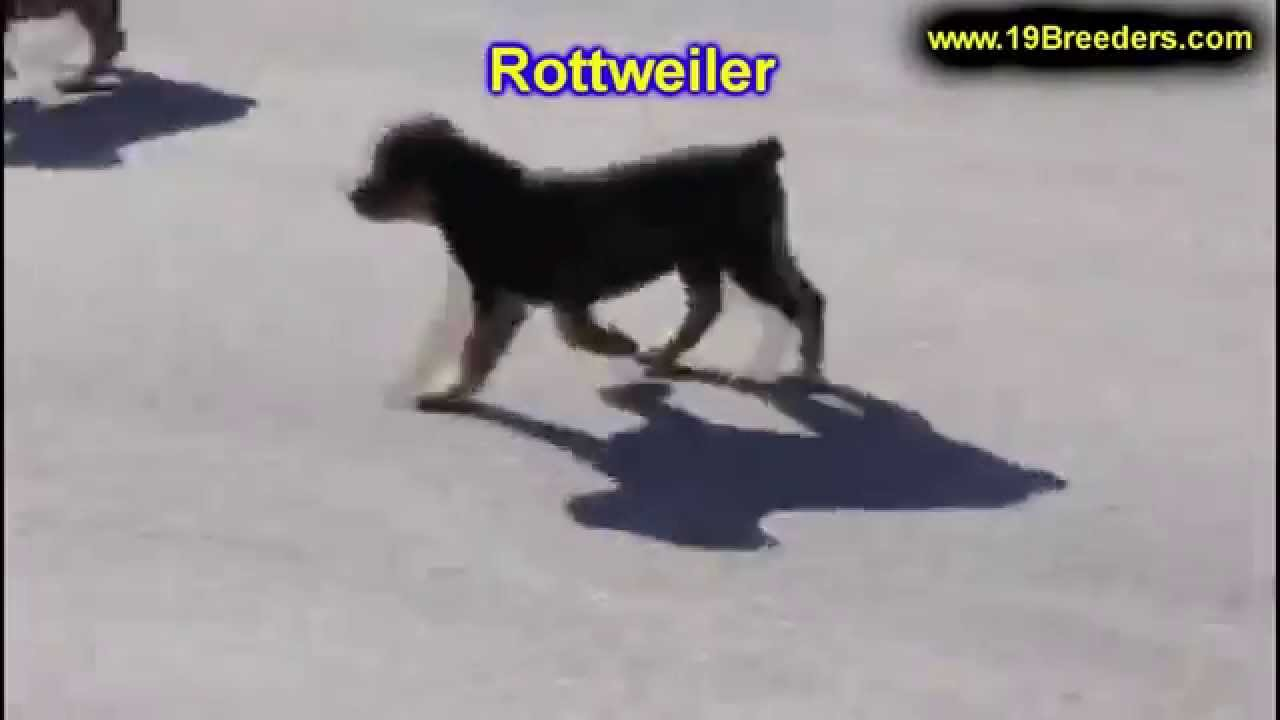 Rottweiler Puppies Craigslist >> Rottweiler, Puppies, Dogs, For Sale, In Lexington, County, Kentucky, KY, 19Breeders, Owensboro ...