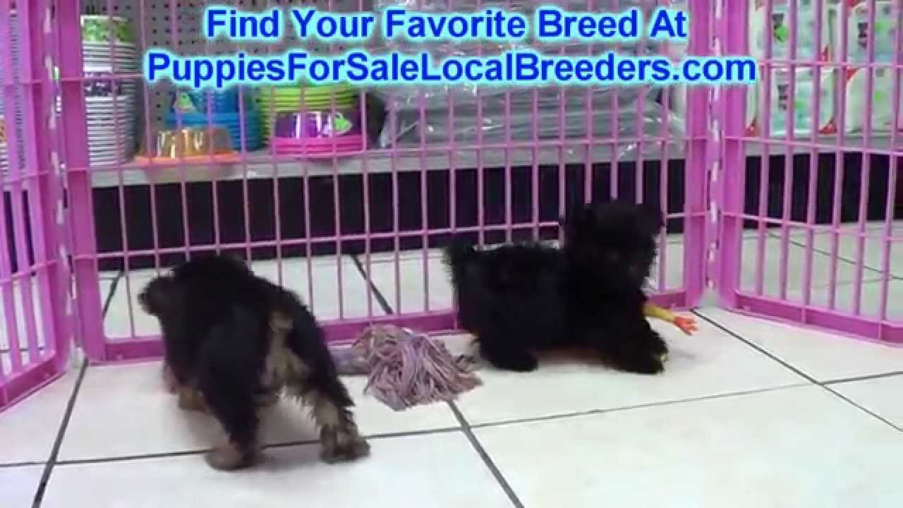Yorkie Poo, Puppies, Dogs, For Sale, In Denver, Colorado ...