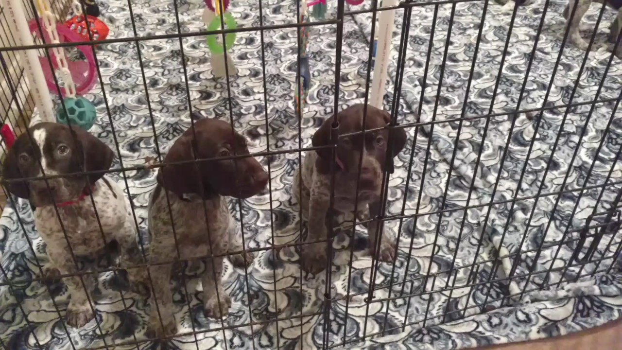 Bodie The Dog Puppies