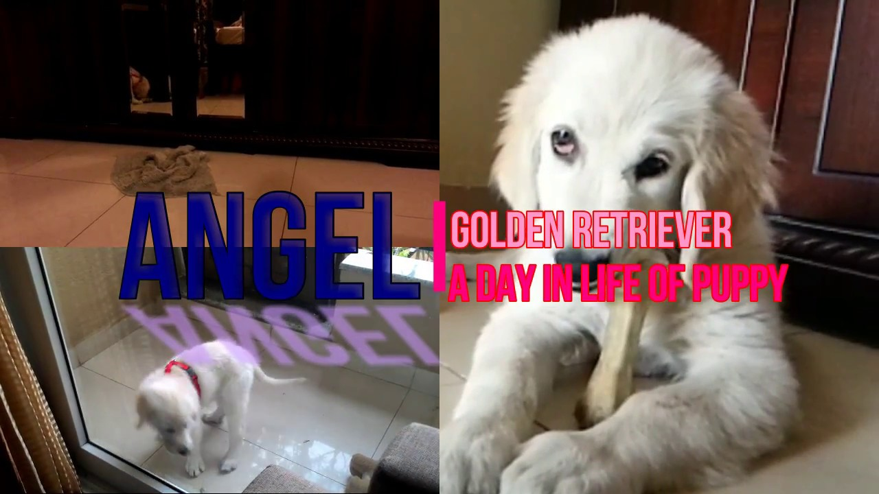 Puppy A Day In The Life Of Angel The Golden Retriever
