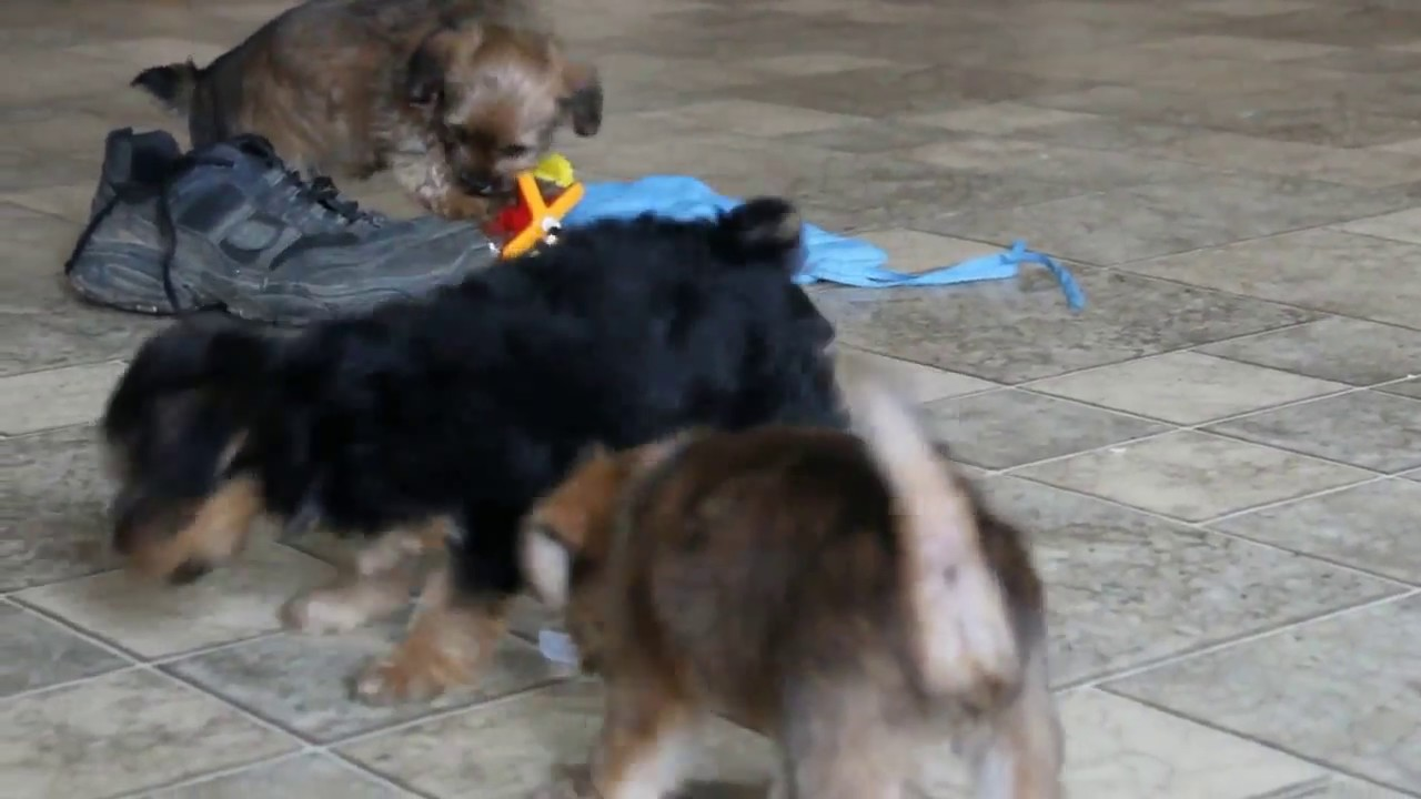 yorkie chon for sale yorkie chon puppies for sale cute puppies videos 3848