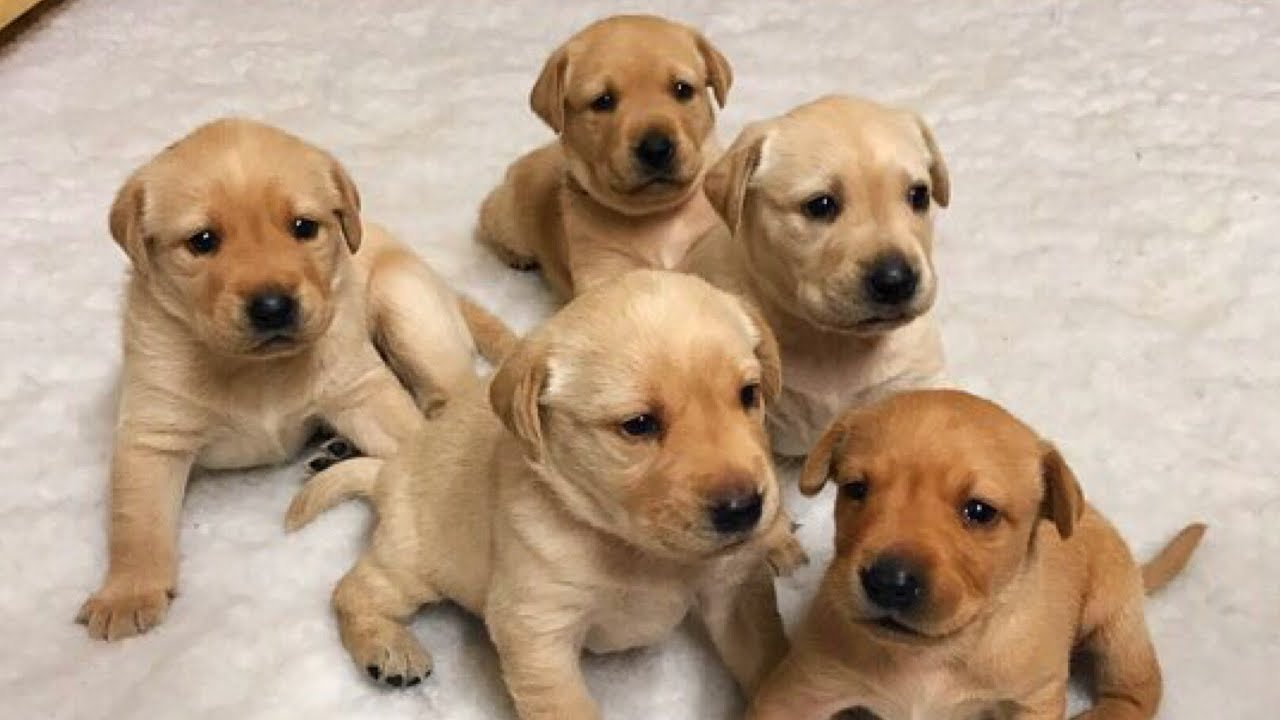 Best Food For Labrador Puppies Uk