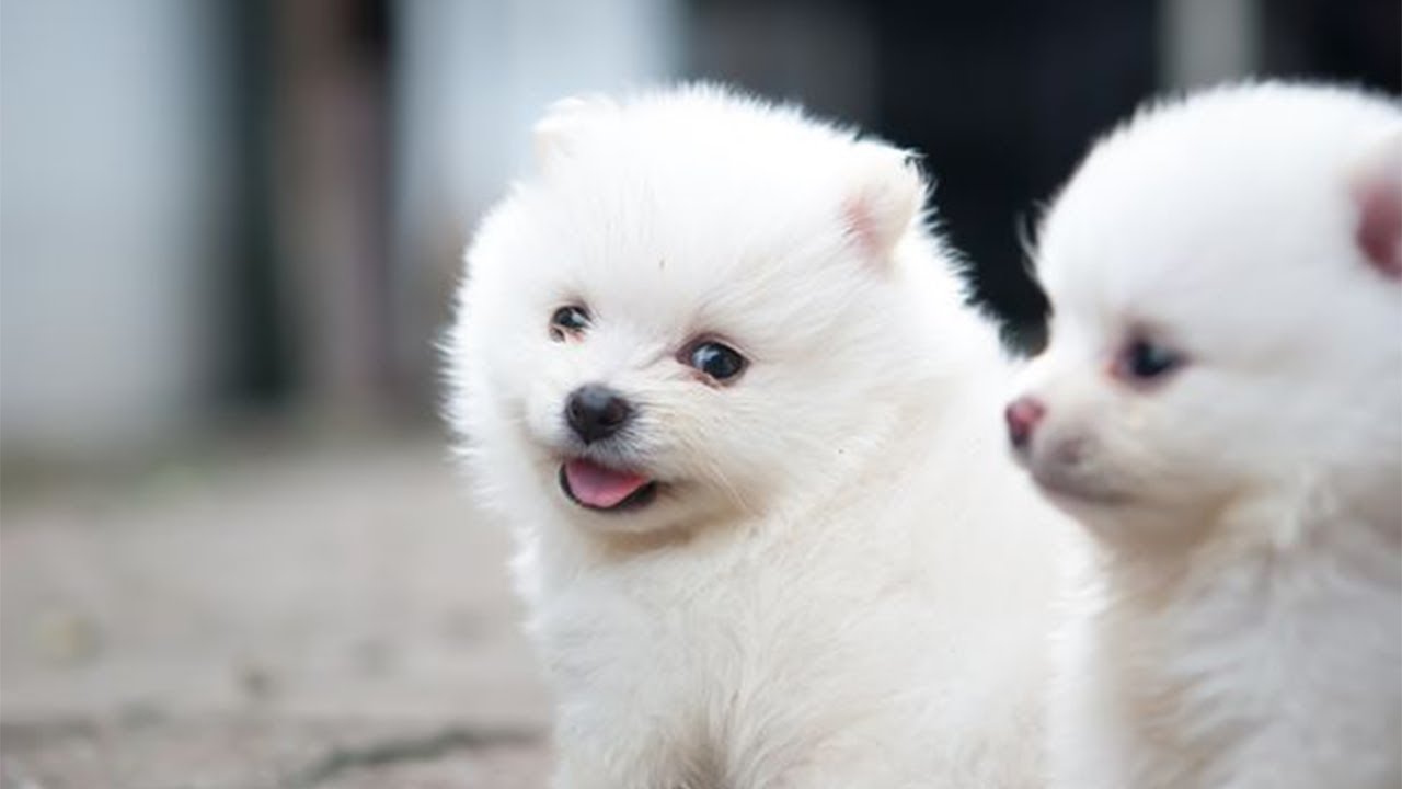 Fluffy Puppies Playing On Blanket Cute Puppies Videos