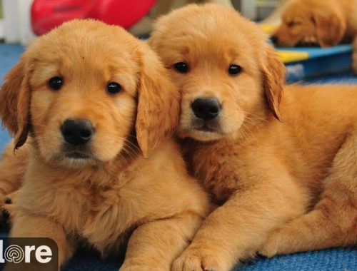 Toy Poodle, Puppies, Dogs, For Sale, In Virginia Beach ...