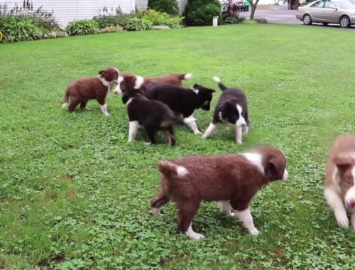 Lancaster Puppies Archives - Cute Puppies Videos