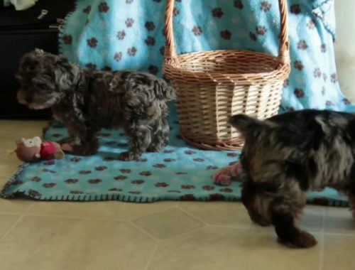 Yorkie Archives Cute Puppies Videos